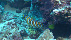 Regal angelfish swimming, Pygoplites diacanthus, HD, UP15282 Stock Footage