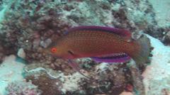 Dotted wrasse swimming, Cirrhilabrus punctatus, HD, UP15287 Stock Footage