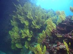 Yellow sea fan, Annella sp., HD, UP15315 Stock Footage