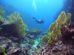 Videographer swimming in deep channel with Yellow sea fan in Kingdom of Tonga, Stock Footage