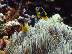 Orangefin anemonefish swimming, Amphiprion chrysopterus, HD, UP15327 Stock Footage