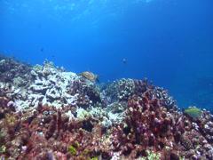 Hawksbill turtle swimming, Eretmochelys imbricata, HD, UP15334 Stock Footage