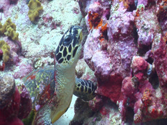 Hawksbill turtle, Eretmochelys imbricata, HD, UP15335 Stock Footage