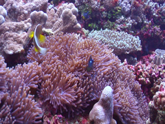Tongan skunk anemonefish swimming, Amphiprion pacificus, HD, UP15389 Stock Footage