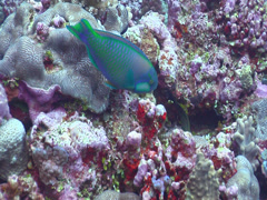 Male adult Bleekers parrotfish feeding, Chlorurus bleekeri, HD, UP15391 Stock Footage