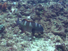 Coral trout swimming, Plectropomus leopardus, HD, UP15396 Stock Footage