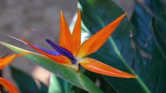 Bird-of-Paradise flower (Strelitzia reginae) Stock Footage