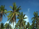 Stock Video Footage of Passing coconut trees, clouds, blue sky. Filmed from moving car.