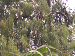 Fruit bats, HD, UP16005 Stock Footage