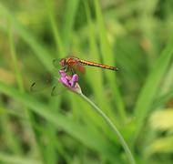 Sudenkorento kukka puutarha Kuvituskuvat
