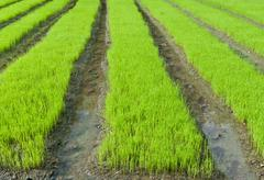 Young rice cultivate . - stock photo
