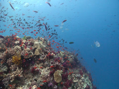 Ocean scenery anthias, jacks, soft corals, current, lots of action on bommie Stock Footage