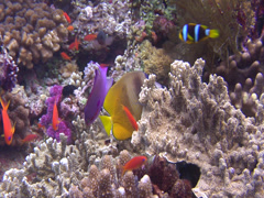 Klein's butterflyfish feeding, Chaetodon kleinii, HD, UP16209 Stock Footage