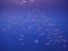 Blue and gold fusilier swimming and schooling in bluewater, Caesio teres, HD, Stock Footage
