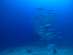 Blackfin barracuda swimming and schooling, Sphyraena qenie, HD, UP16301 Stock Footage