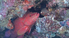 Coral cod cleaning and being cleaned on cleaning station, Cephalopholis miniata, Stock Footage
