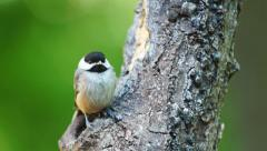 Carolina Chickadee Fledgling Stock Footage