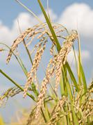 paddy rice plant - stock photo