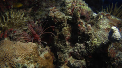 Ragged-fin lionfish, Pterois antennata, HD, UP16393 Stock Footage