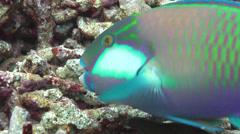 Male adult Bleekers parrotfish feeding, Chlorurus bleekeri, HD, UP16399 Stock Footage