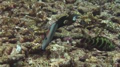 Orangeband surgeonfish feeding, Acanthurus olivaceus, HD, UP16401 Stock Footage