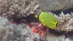 Latticed butterflyfish swimming, Chaetodon rafflesii, HD, UP16414 Stock Footage