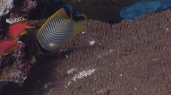 Chevroned butterflyfish swimming, Chaetodon trifascialis, HD, UP16449 Stock Footage