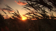 Marsh grasses swaying in the wind sunset background Stock Footage