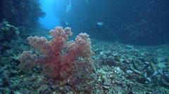 Twotone soft coral feeding in swimthrough, Dendronephthya sp., HD, UP16478 Stock Footage