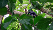 Stock Video Footage of Capuchin monkey on a tree in Costa Rica