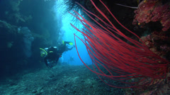 Group of scuba divers swimming in swimthrough with Red sea whips in Fiji Stock Footage