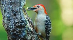 Red-bellied Woodpecker Male Stock Footage