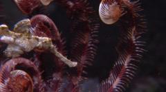Halimeda ghost pipefish swimming at night, Solenostomus halimeda, HD, UP16503 Stock Footage
