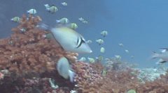 Scythe triggerfish swimming, Sufflamen bursa, HD, UP16524 Stock Footage