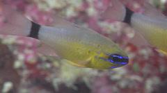 Ring-tailed cardinalfish swimming, Ostorhinchus aureus, HD, UP16539 Stock Footage