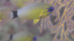 Ring-tailed cardinalfish swimming, Ostorhinchus aureus, HD, UP16540 Stock Footage