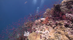 Buddy team of scuba divers drifting on beautiful healthy and diverse reef with Stock Footage