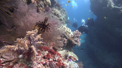 Group of scuba divers swimming on shallow coral reef with Red sea fan in Fiji Stock Footage