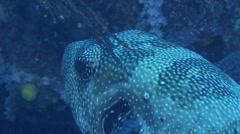Blue-spotted pufferfish hovering, Arothron caeruleopunctatus, HD, UP16590 Stock Footage