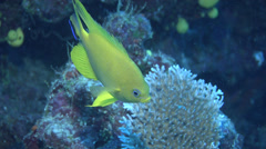 Cleaner wrasse cleaning and being cleaned, Labroides dimidiatus, HD, UP16604 Stock Footage