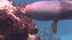 Threadfin butterflyfish feeding, Chaetodon auriga, HD, UP16622 Stock Footage