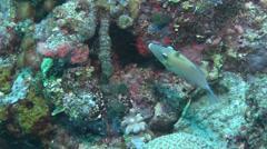 Scythe triggerfish swimming, Sufflamen bursa, HD, UP16651 Stock Footage