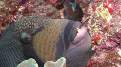 Titan triggerfish swimming, Balistoides viridescens, HD, UP16660 Stock Footage