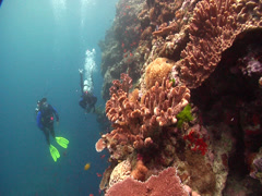 Buddy team of scuba divers drifting on shallow wall in Fiji Islands, HD, UP16669 Stock Footage