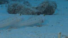 Spotted garden eel feeding on sand and coral rubble, Heteroconger hassi, HD, Stock Footage