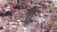 Twospot wrasse feeding, Halichoeres biocellatus, HD, UP16715 Stock Footage