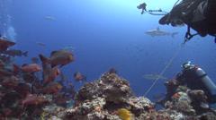 Grey reef shark swimming in fish feeding arena, Carcharhinus amblyrhynchos, HD, Stock Footage