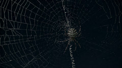 Argiope spider timelapse night with stars behind Stock Footage