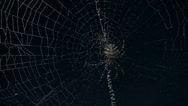 Stock Video Footage of Argiope spider timelapse night with stars behind
