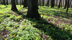 Spring wood landscape with white flowers anemones - slider dolly shot Stock Footage